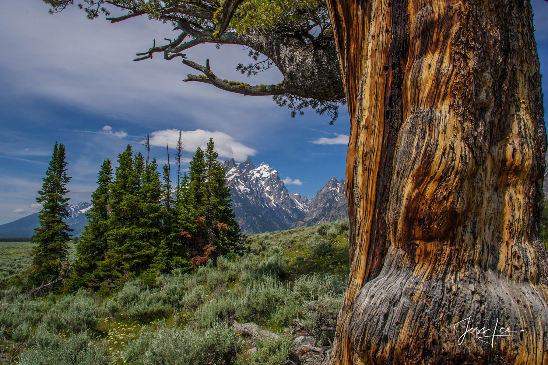 Grand Teton Valley Limber Pine tree photography, photo