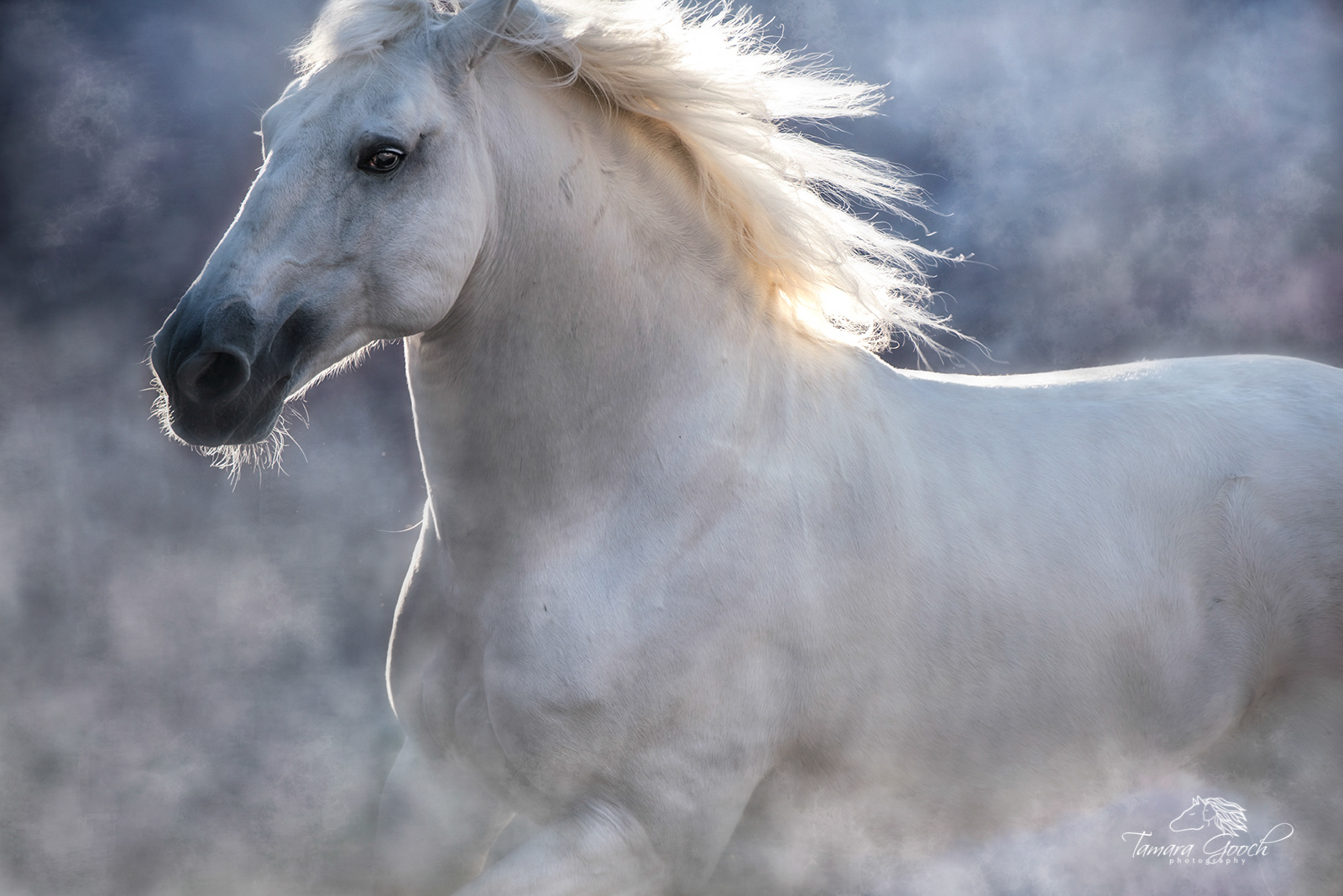 Fine Art Equine Photography Print. Limited Edition of 25. White Lusitano stallion at liberty surrounded by dust. Photographed...