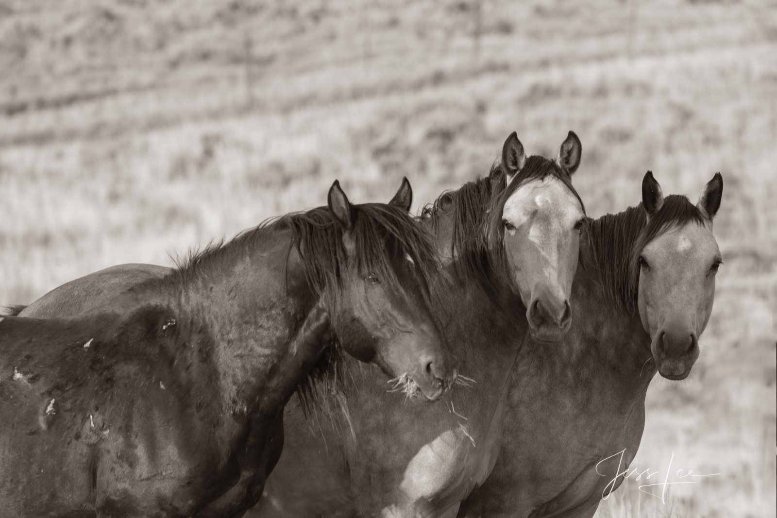 Fine Art Print of three Wyoming Wild Horses. Limited Edition of 250 Luxurious Prints.  Choose the style, size, and medium for...