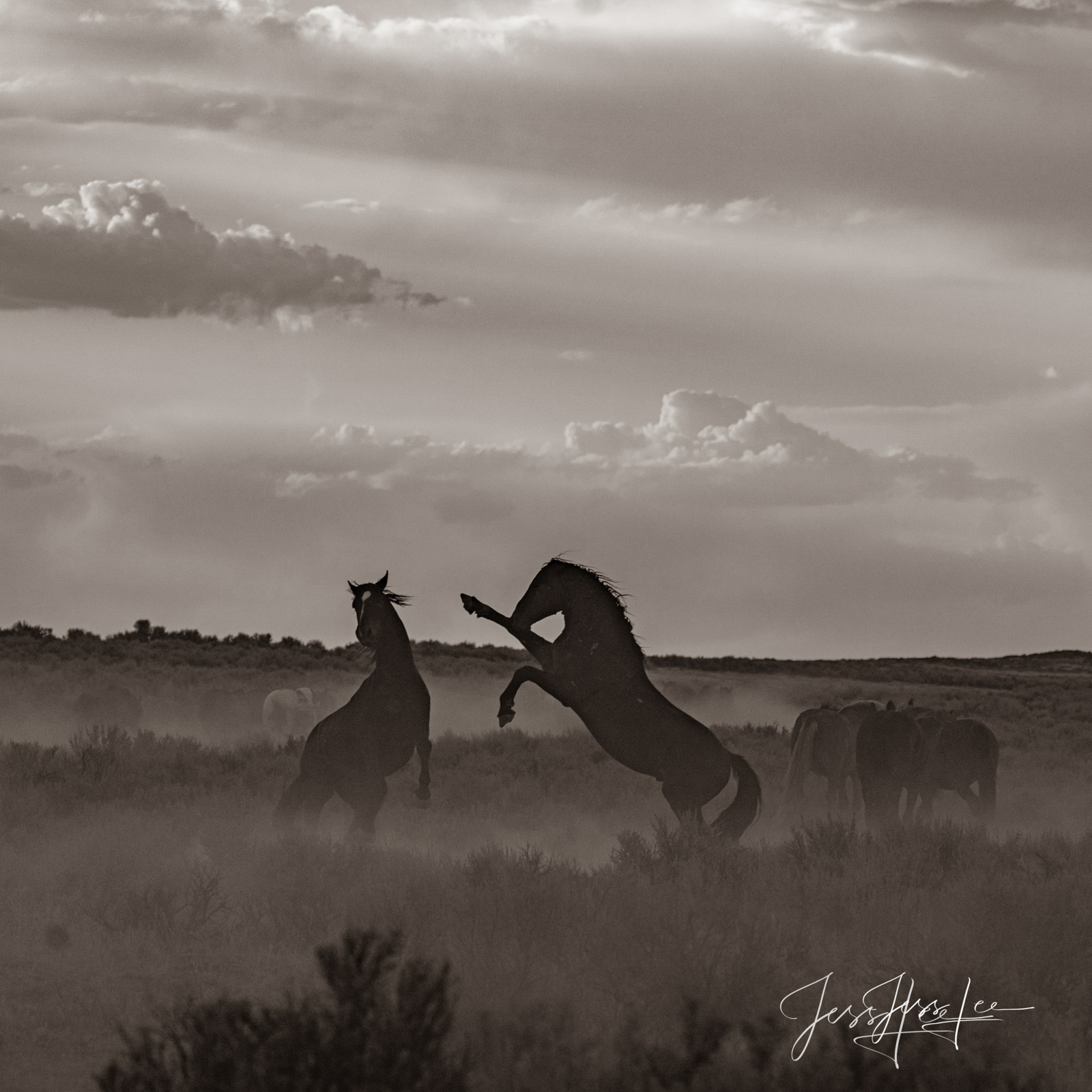 Fine Art Print of fighting Wyoming Wild Horses. Limited Edition of 250 Luxurious Prints.  Choose the style, size, and medium...