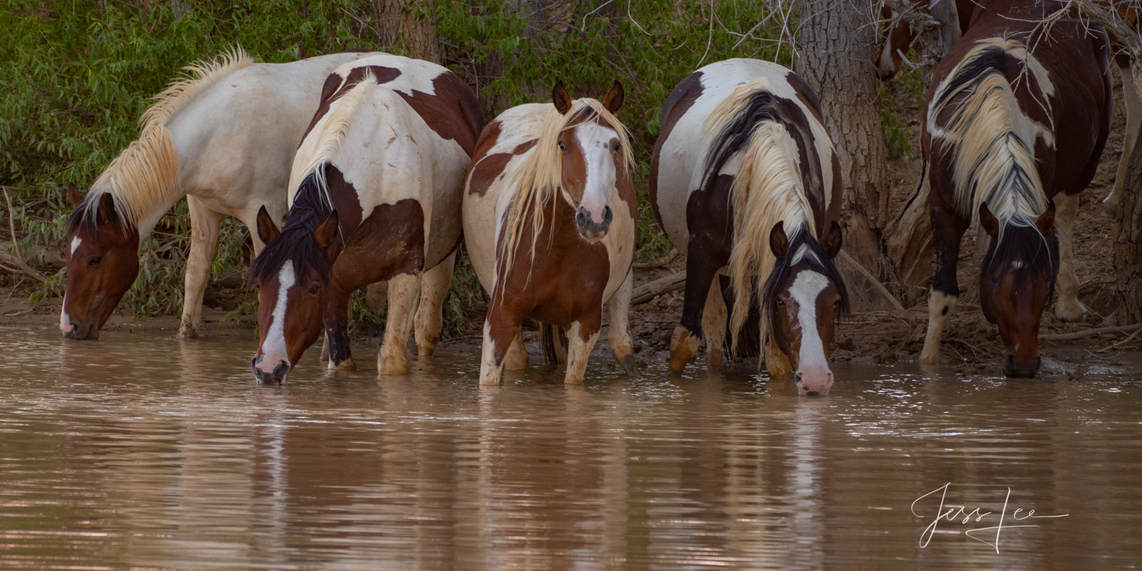 Spotted Mustangs at the waterhole, a fine art limited edition  of 200 prints