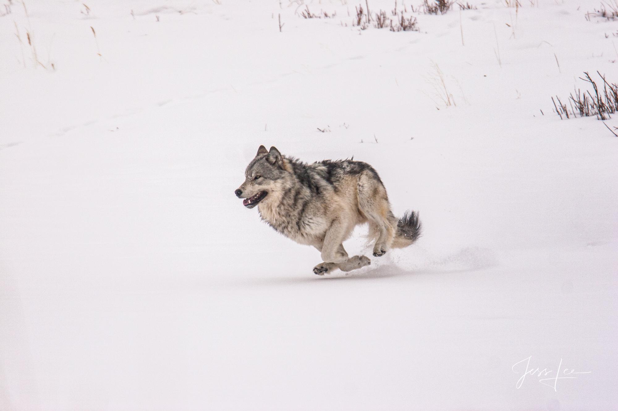 running wolf yellowstone