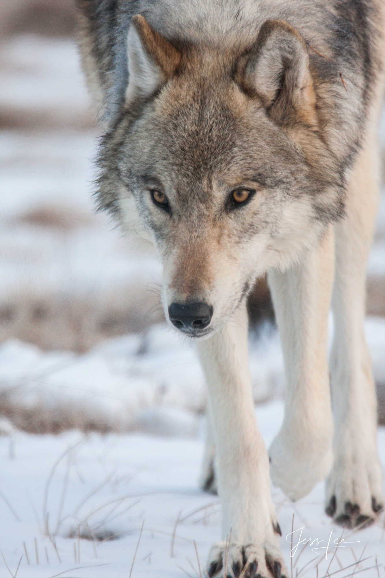 Picture of a Wolf eyes