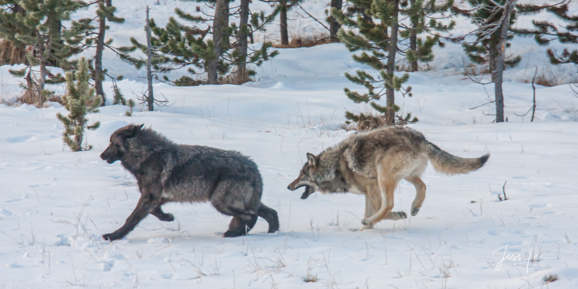 Yellowstone Wolf in the Wild. Exclusive limited edition photo of 200 prints by Jess Lee