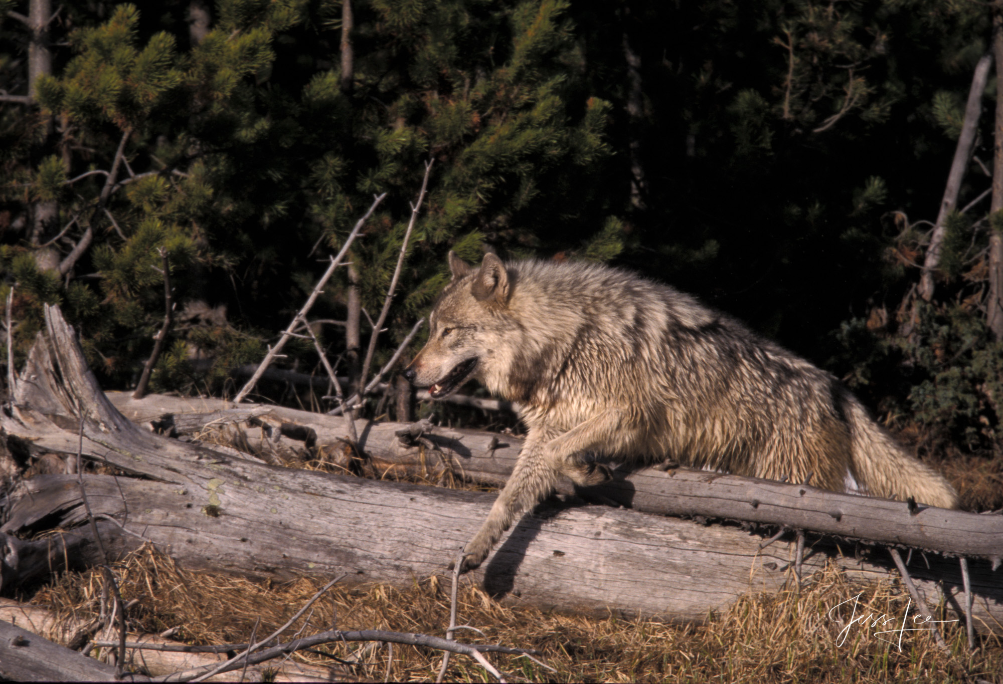 Yellowstone Wolf in the Wild hunting in the lodgepole forest along the Madison River. Exclusive limited edition photo of 200...