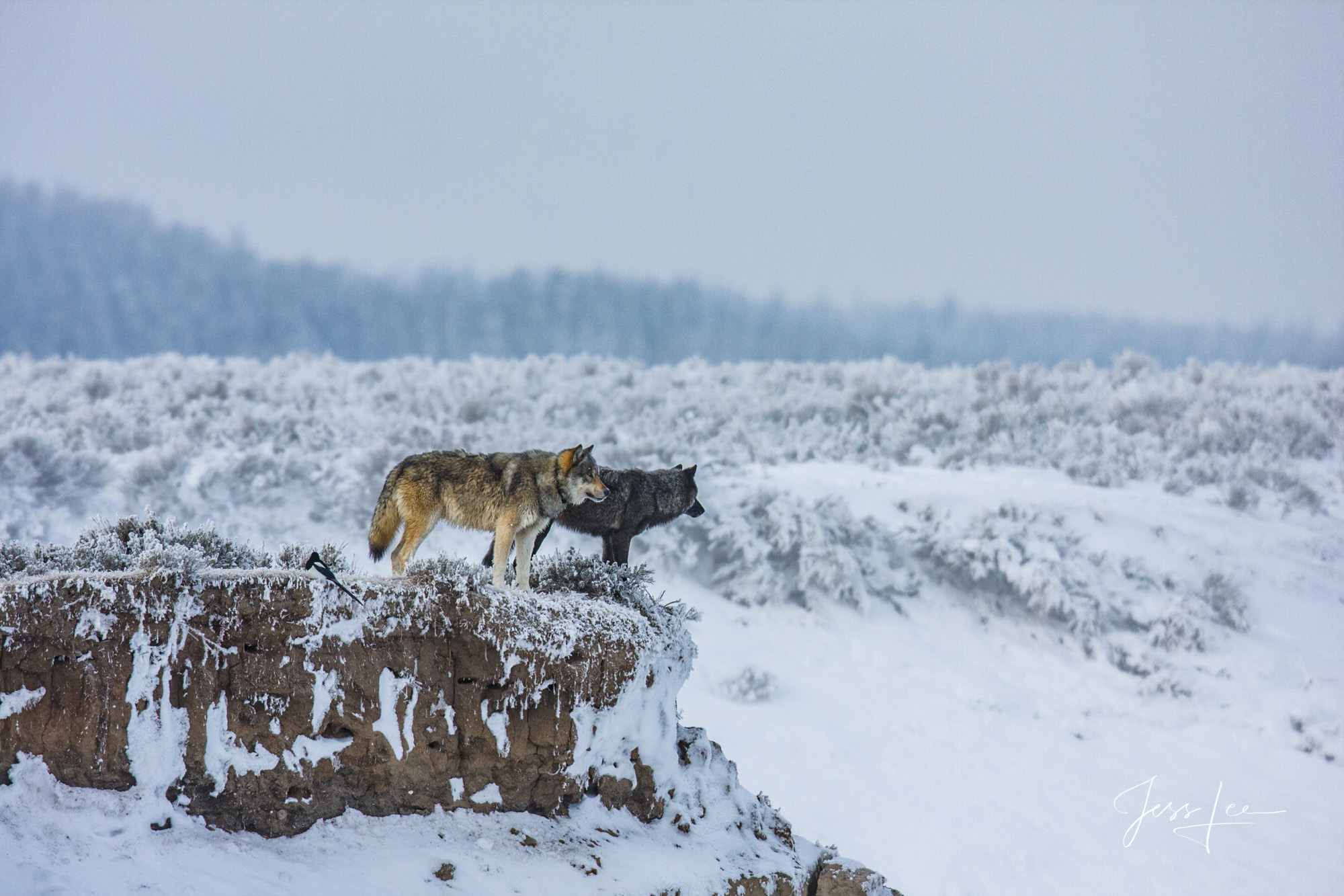 Yellowstone Wolves of the Molly pack over looking Elk Antler creek in Yellowstone National Park.   Exclusive limited edition...