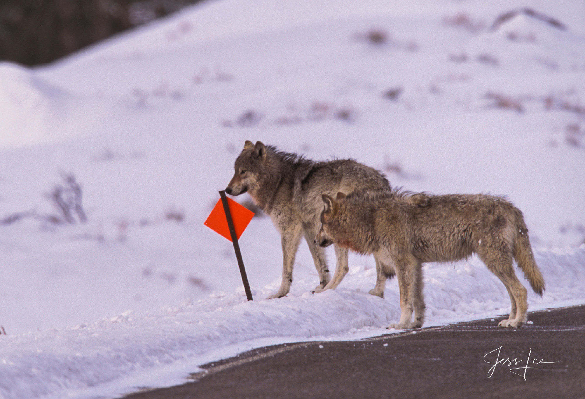Yellowstone Wolf, winter, cowboy, free, horse, predator, wild, wolves, pack, kill, , Wolf, Yellowstone, reintroduction, hunter, hunting, jess lee, wildlife photographer, National Geographic, great, le, photo