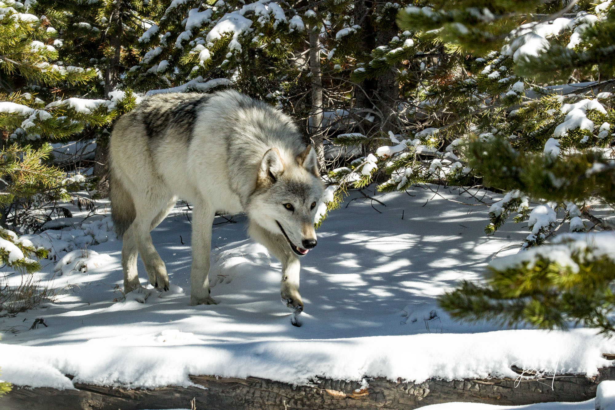 Yellowstone Wolf, free, predator, wild, Wolf, wolves, Yellowstone, pack, reintroduction, hunter, hunting, kill, jess lee, wildlife photographer, National Geographic, great, legendary photographer, bes, photo