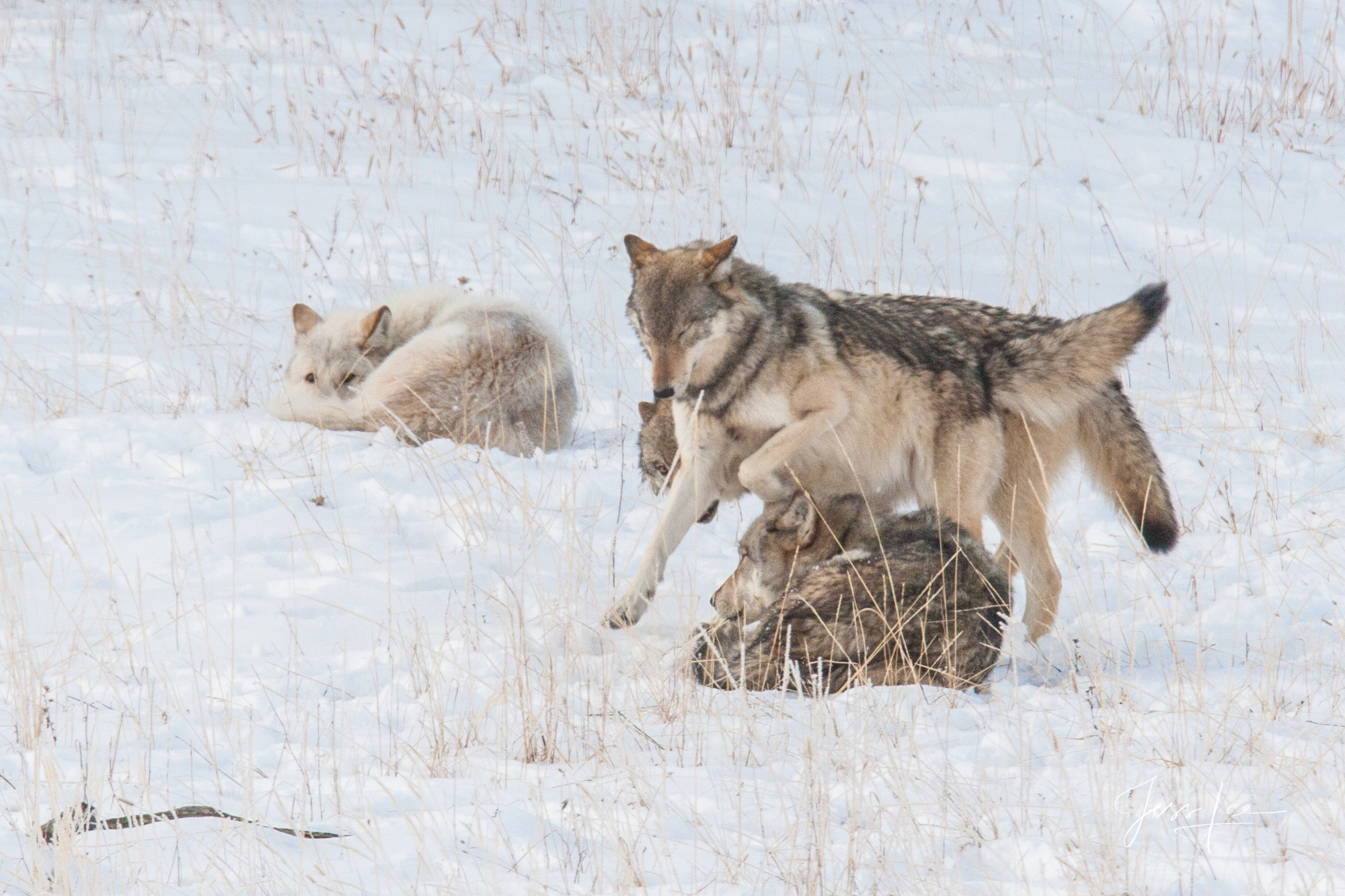 sub adult wolves playing with parents
