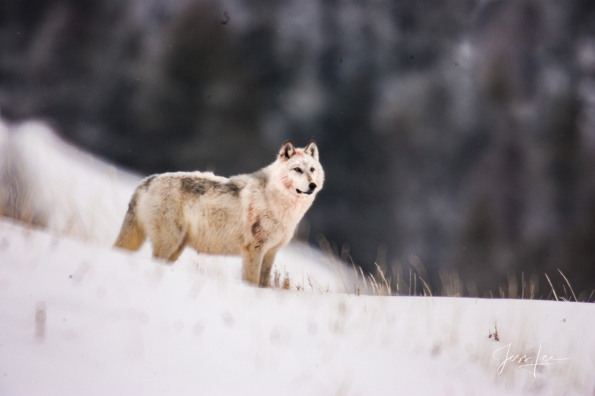 Wolf, wolves, Wild, Yellowstone, pack, reintroduction, hunter, hunting, kill, jess lee, wildlife photographer, National Geographic, great, legendary photographer, best wolf photographer, best wild wol, photo