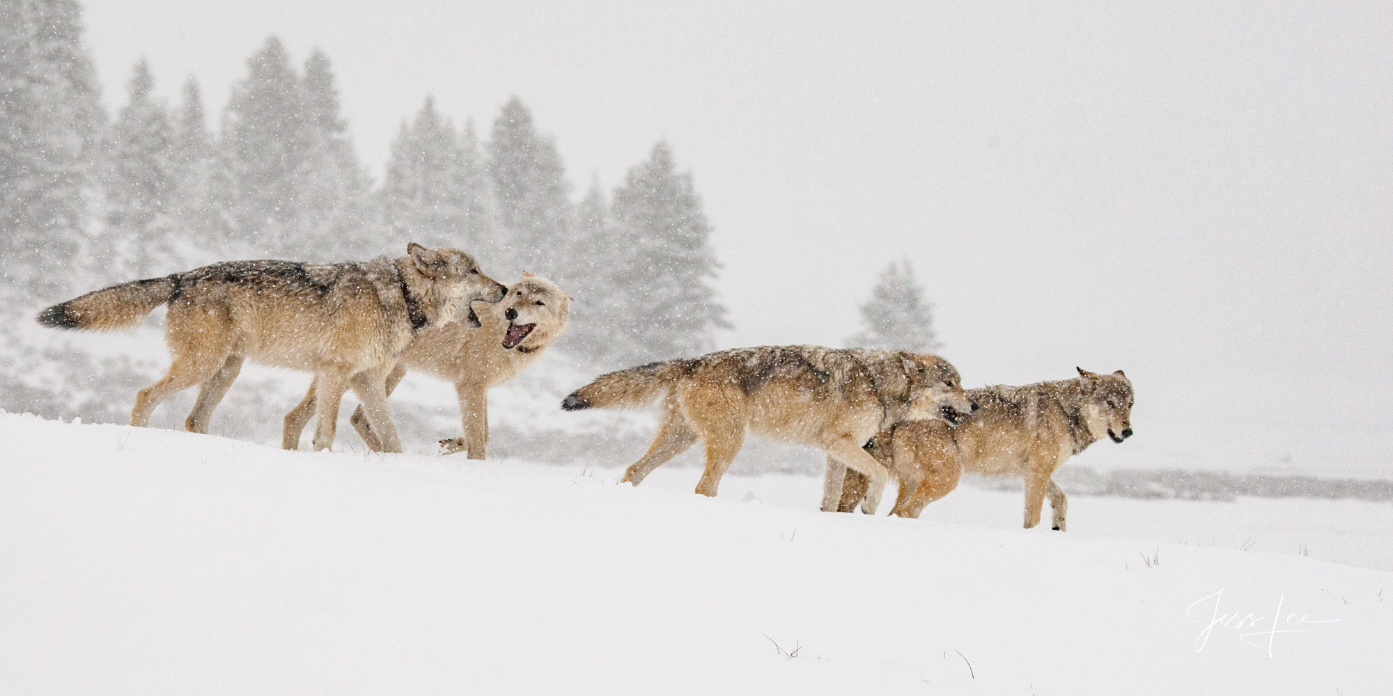 Picture of a Wolf pack