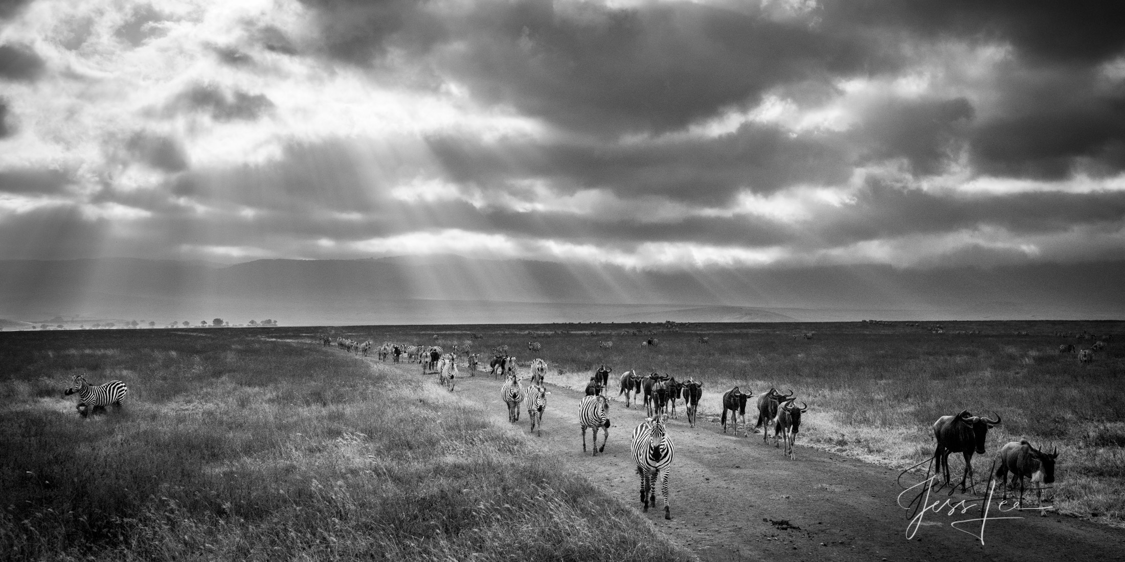 Black and White photo of African Wildlife Migrating
