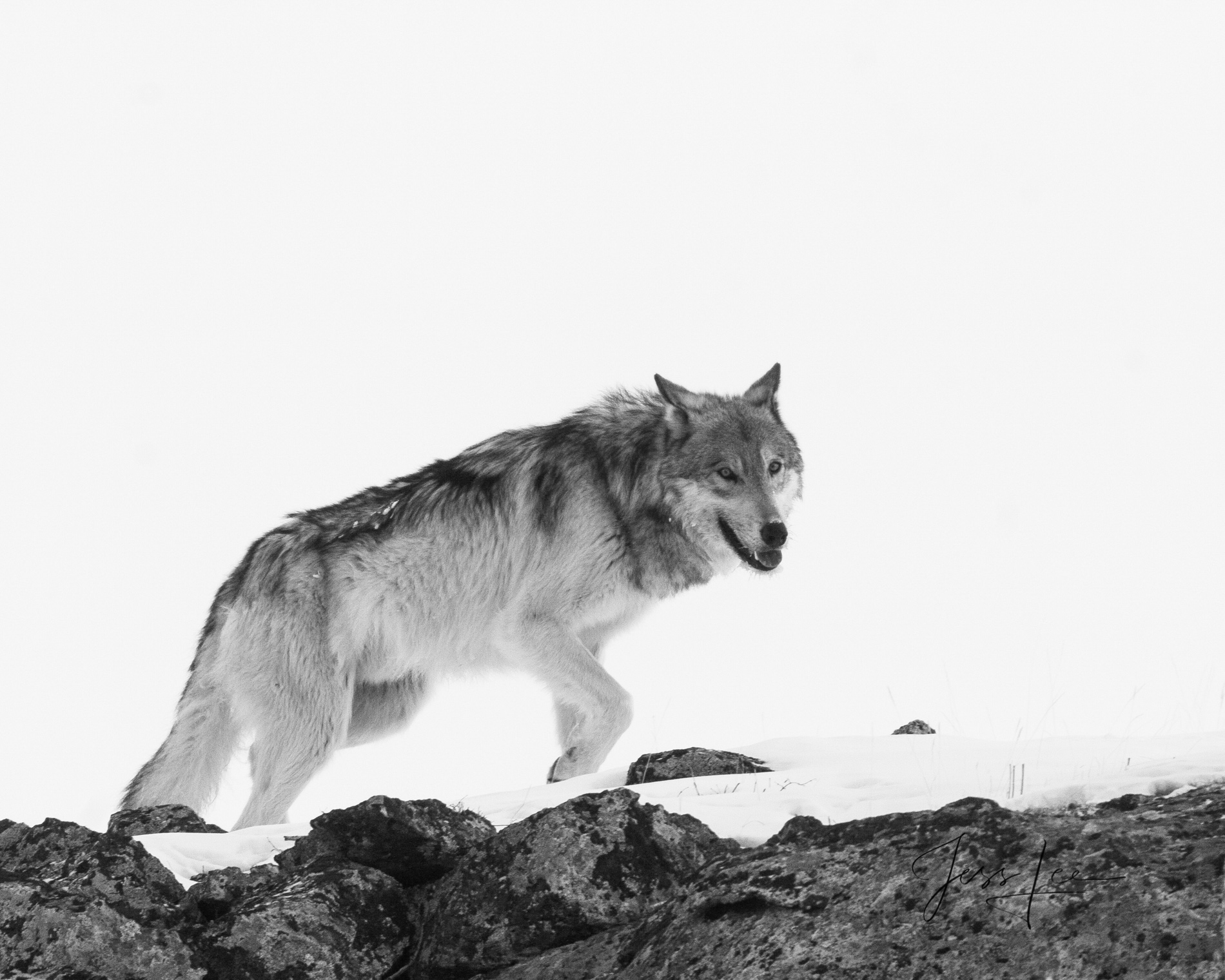 Wolf, wolves, black and white,, photo