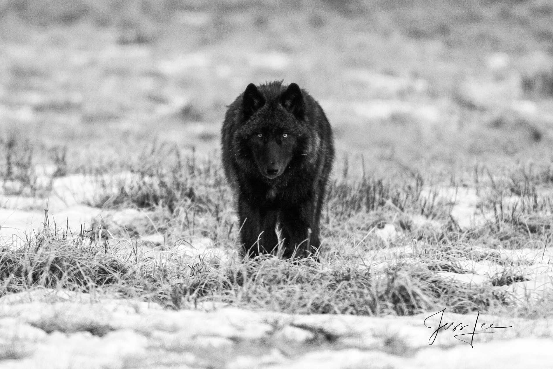 picture od black Wolf staring