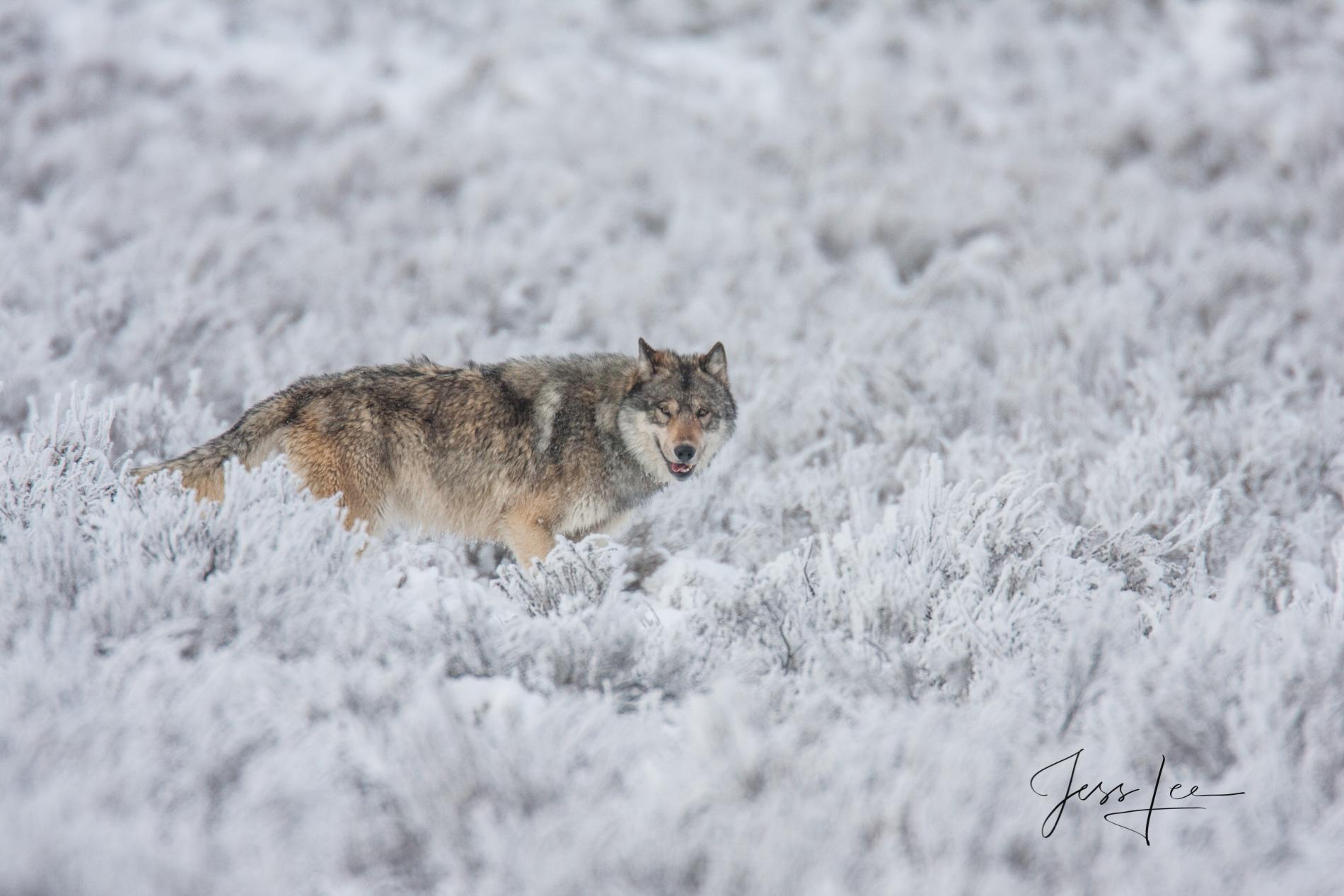 Wild Wolf, Fine Art Limited Edition Photo.