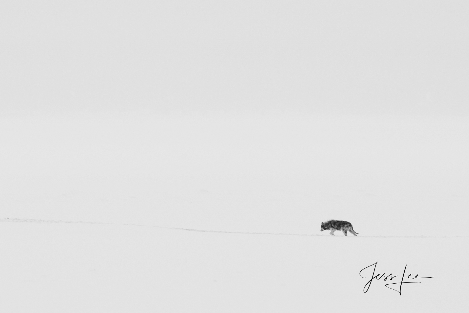 Wolf, wolves, black and white, , photograph, picture, print, collectable, wold, pack, wolf photographs, photo