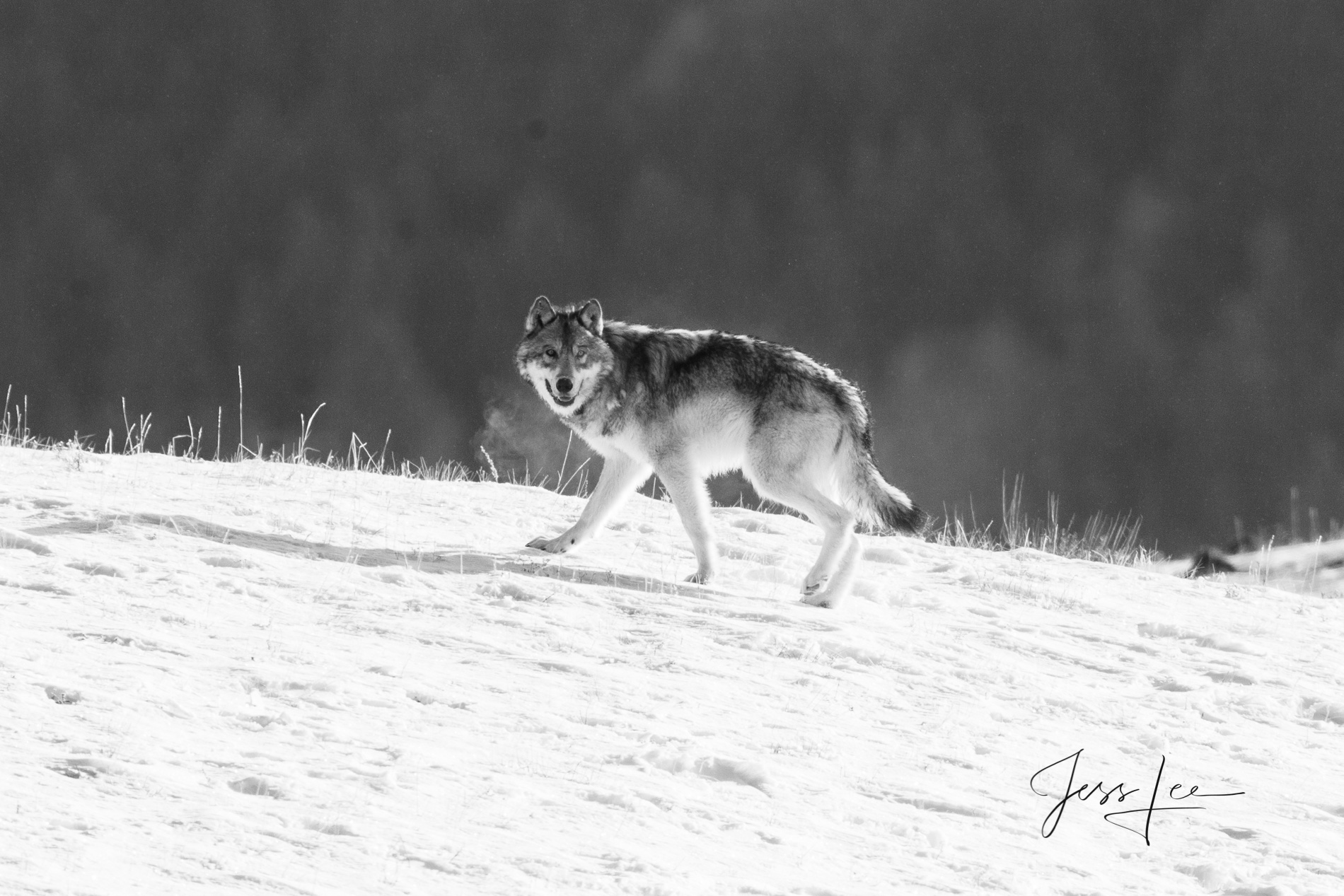 Wild Wolf Photo, fine art print in Black and White for sale.