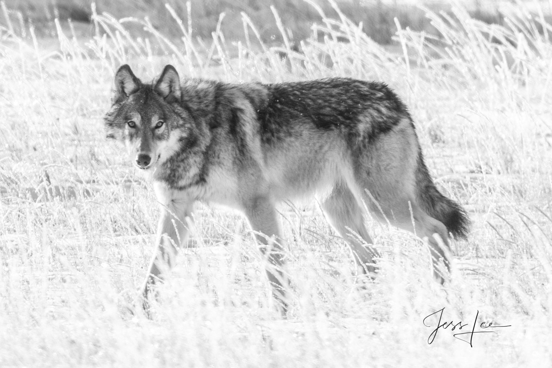 Picture of a passing wolf