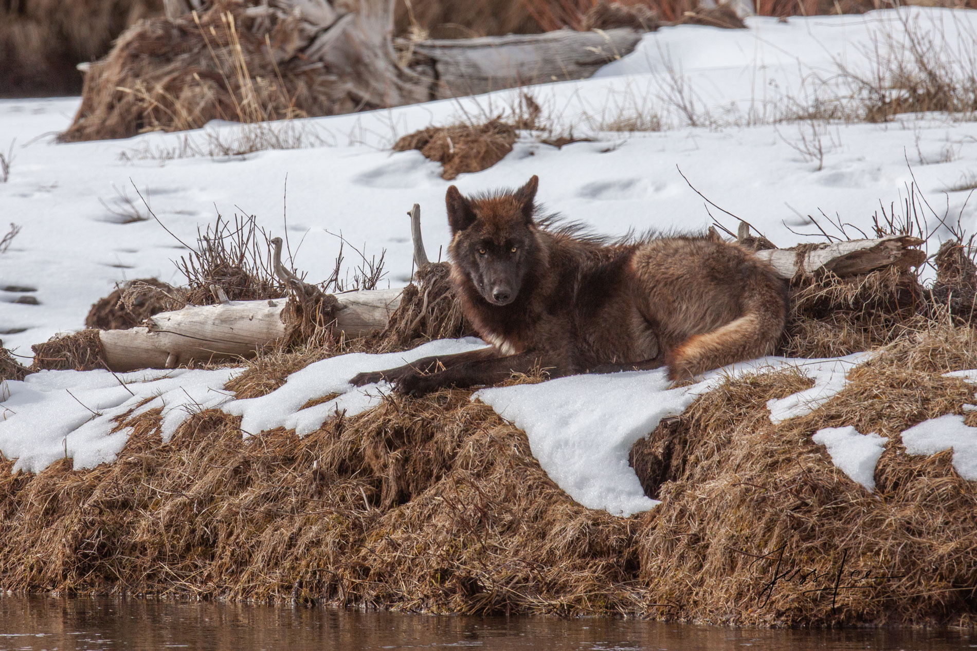 Picture of a Wolf on a riverbank