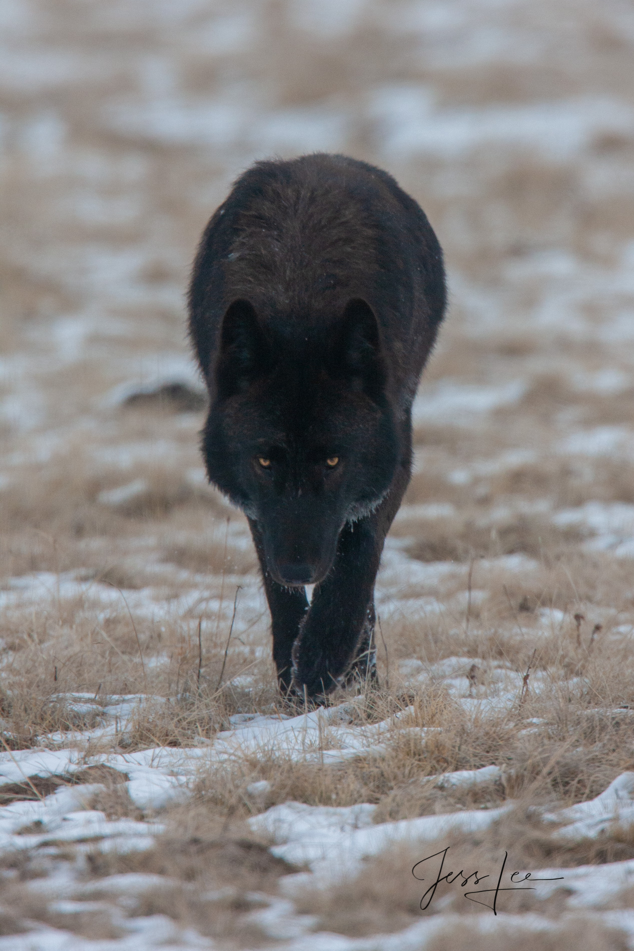 Beautiful Wild Black Wolf approaching Photographer. Wolves like this can appear dangerous but in reality they are just curious, but maybe they are curious to see if you could become prey., picture, ph, photo