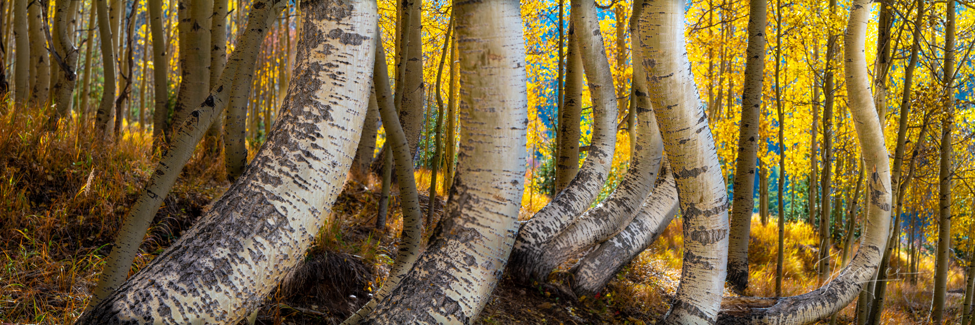 A Colorado Fall Color Photography Print of twisted aspen trees taken during the peak of Autumn Color in southeast Colorado. A...