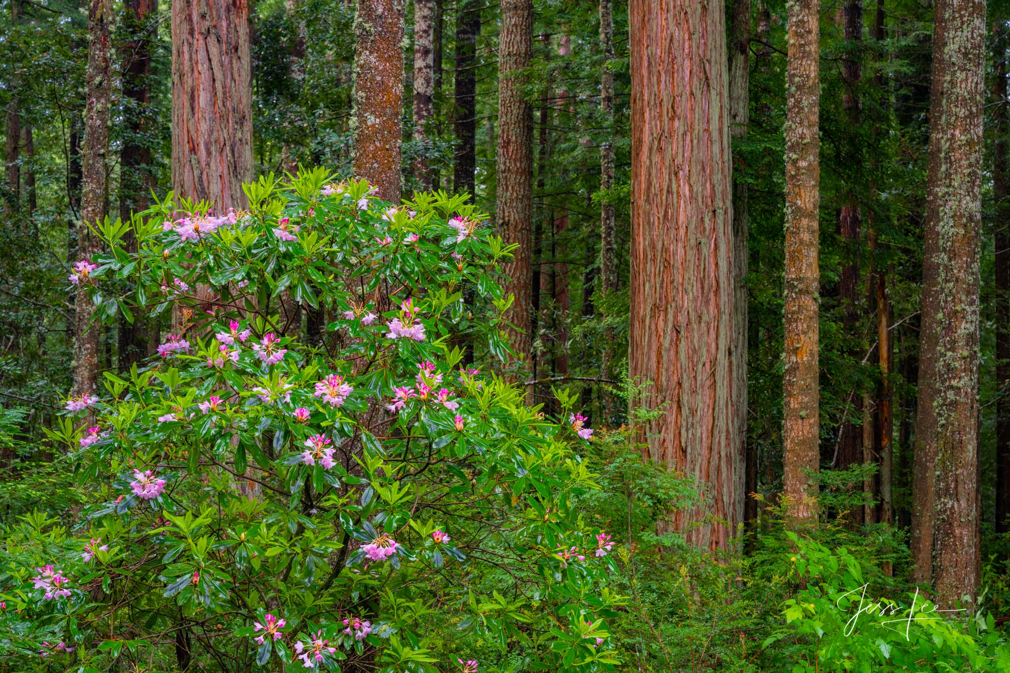 Fine Art Limited Edition Photography Print of Rhododendrons and Redwoods in California. California Landscapes.This is part of...
