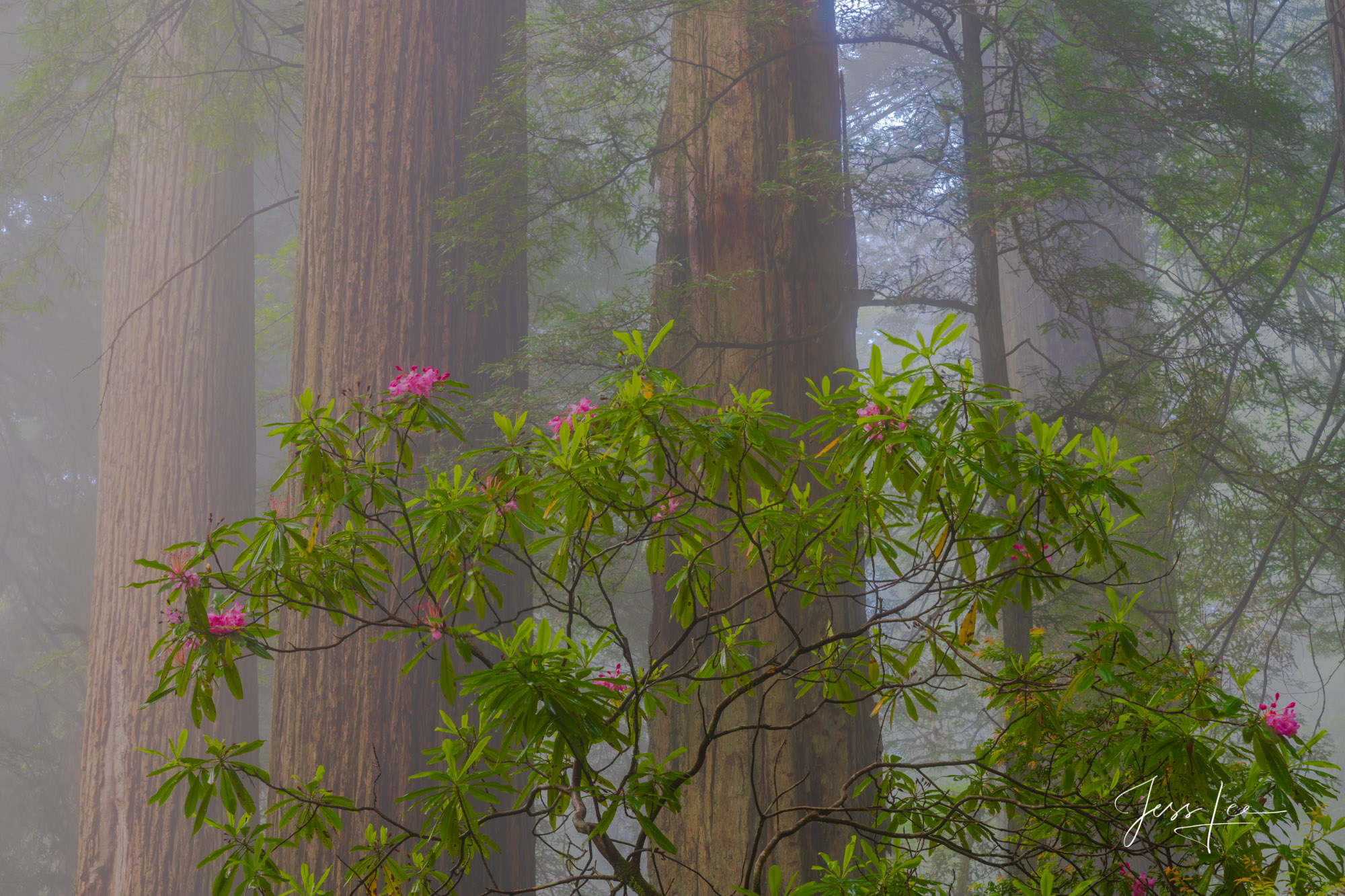 Fine Art Limited Edition Photography Print of Redwoods and Rhododendrons. Beautiful California Landscapes.This is part of the...