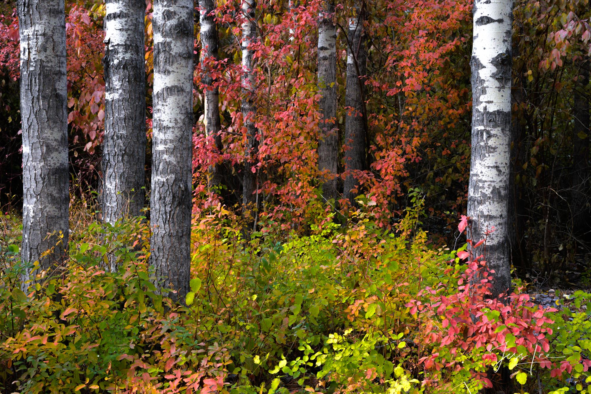 photo of trees in autumn, birch, Washington wilderness photography, Pacific Northwest, PNW, fall color, fine art prints, photo
