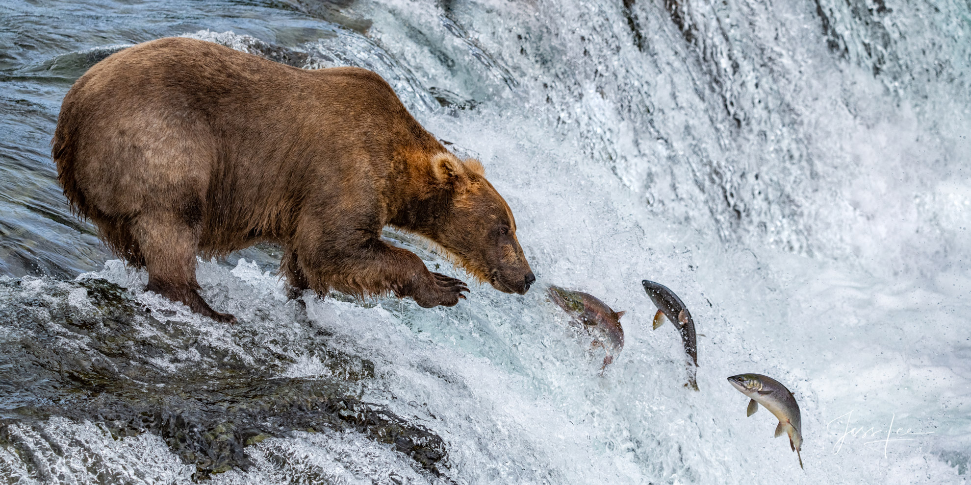 Grizzly bear fishing,, photo