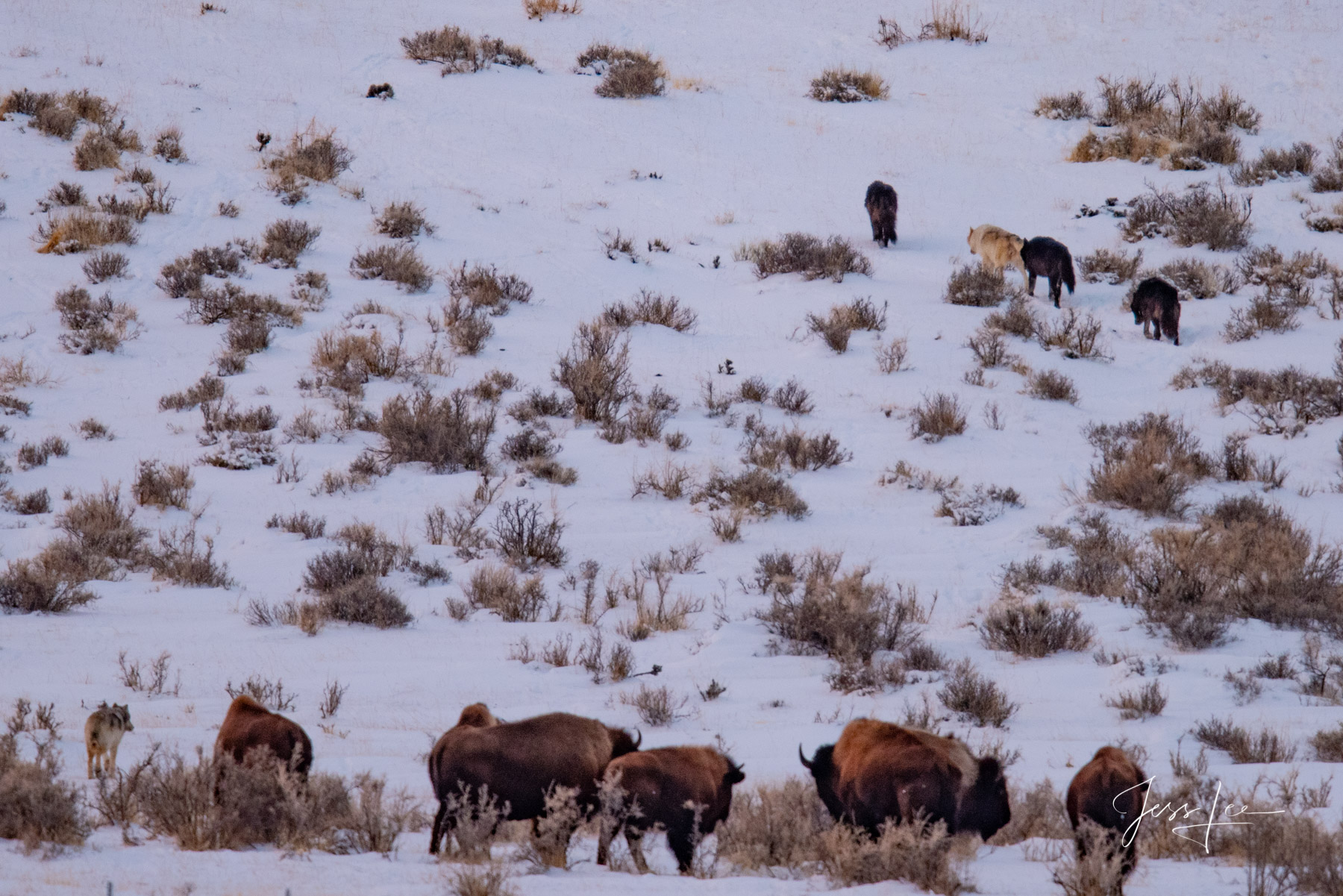 Yellowstone, winter, photography, wildlife, wolves, moose, elk, bison, otters, coyotes, snow, cold, awesome, jess lee, photography,, photo