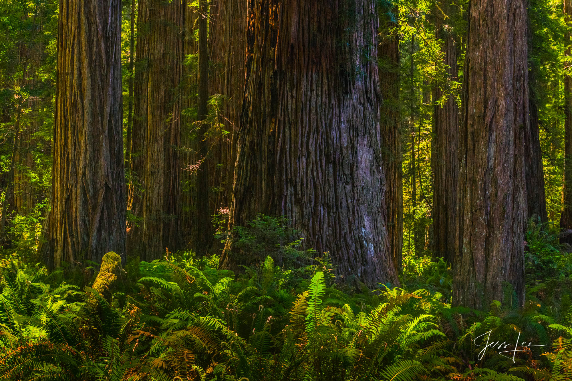 Fine Art Limited Edition Photography Print of Yosemite Redwoods. California Landscapes.This is part of the luxurious collection...