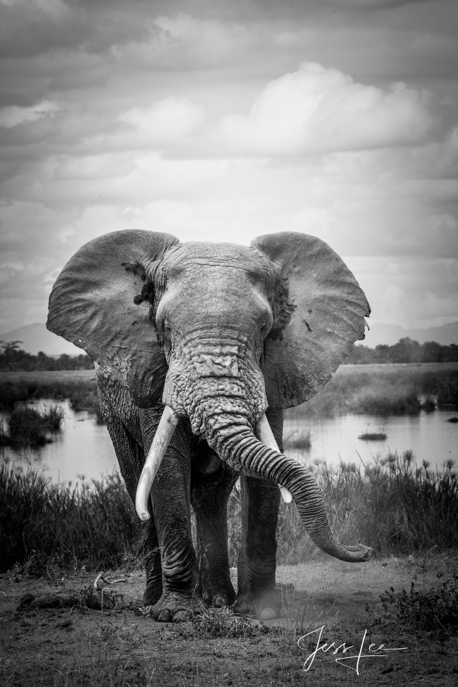 Black and White photo of African Elephant resting its trunk on its Ivories.