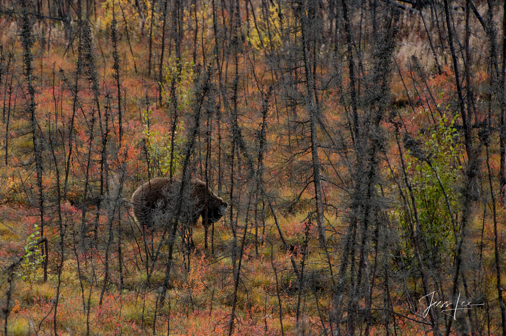 Grizzly searching for a meal in the Alaskan forest.