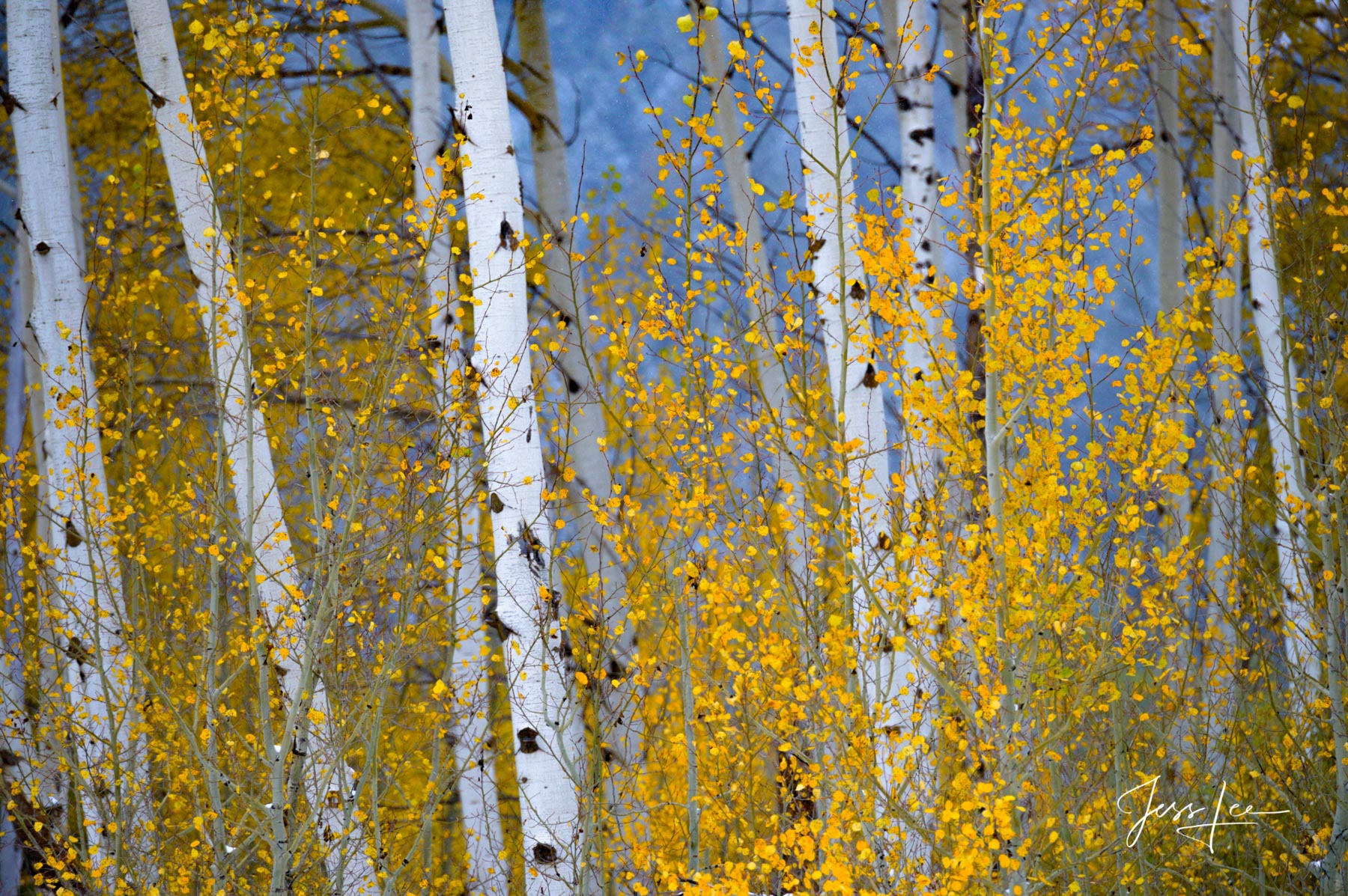 Photograph of the Aspen Trees in contrast to the blue light on the mountain barely visible in the background.,, photo
