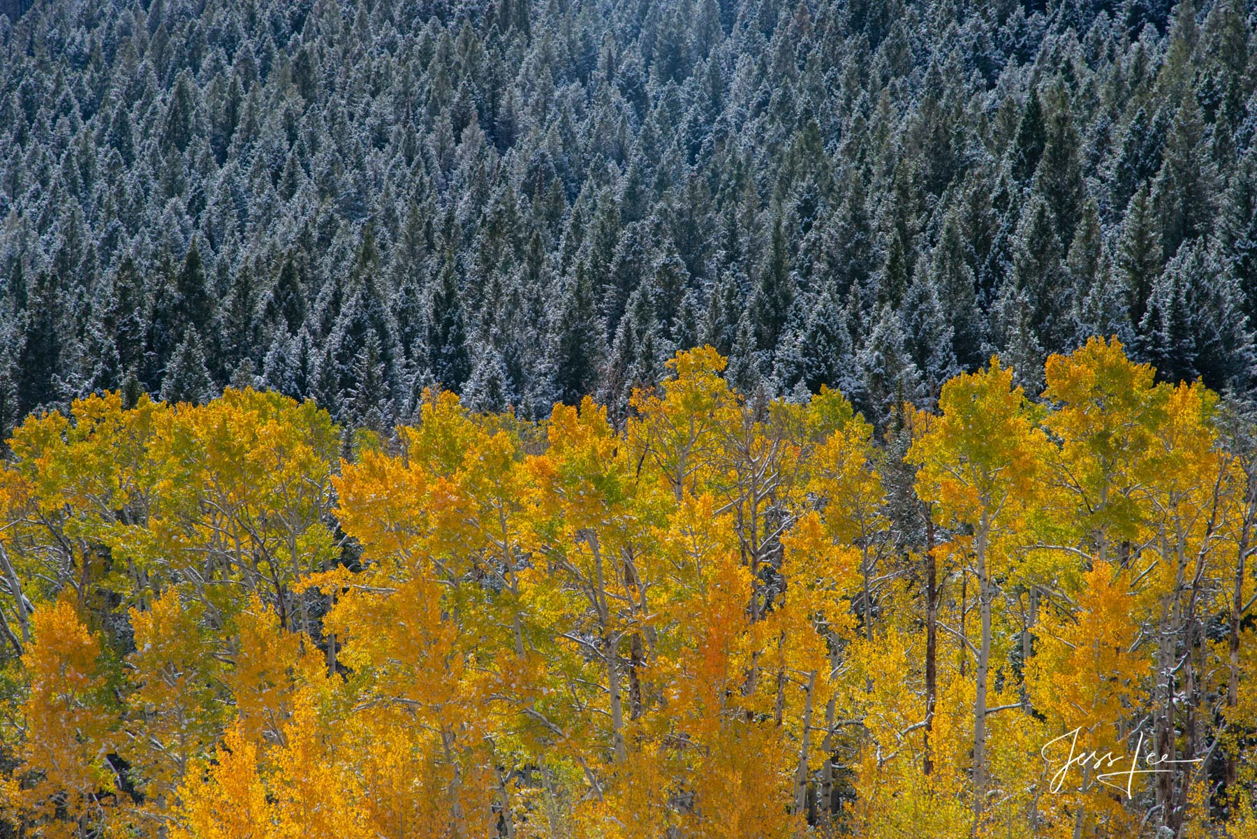 Limited Edition of 50 Exclusive high-resolution Museum Quality Fine Art Prints of turning Aspen trees with a background ofsnow...