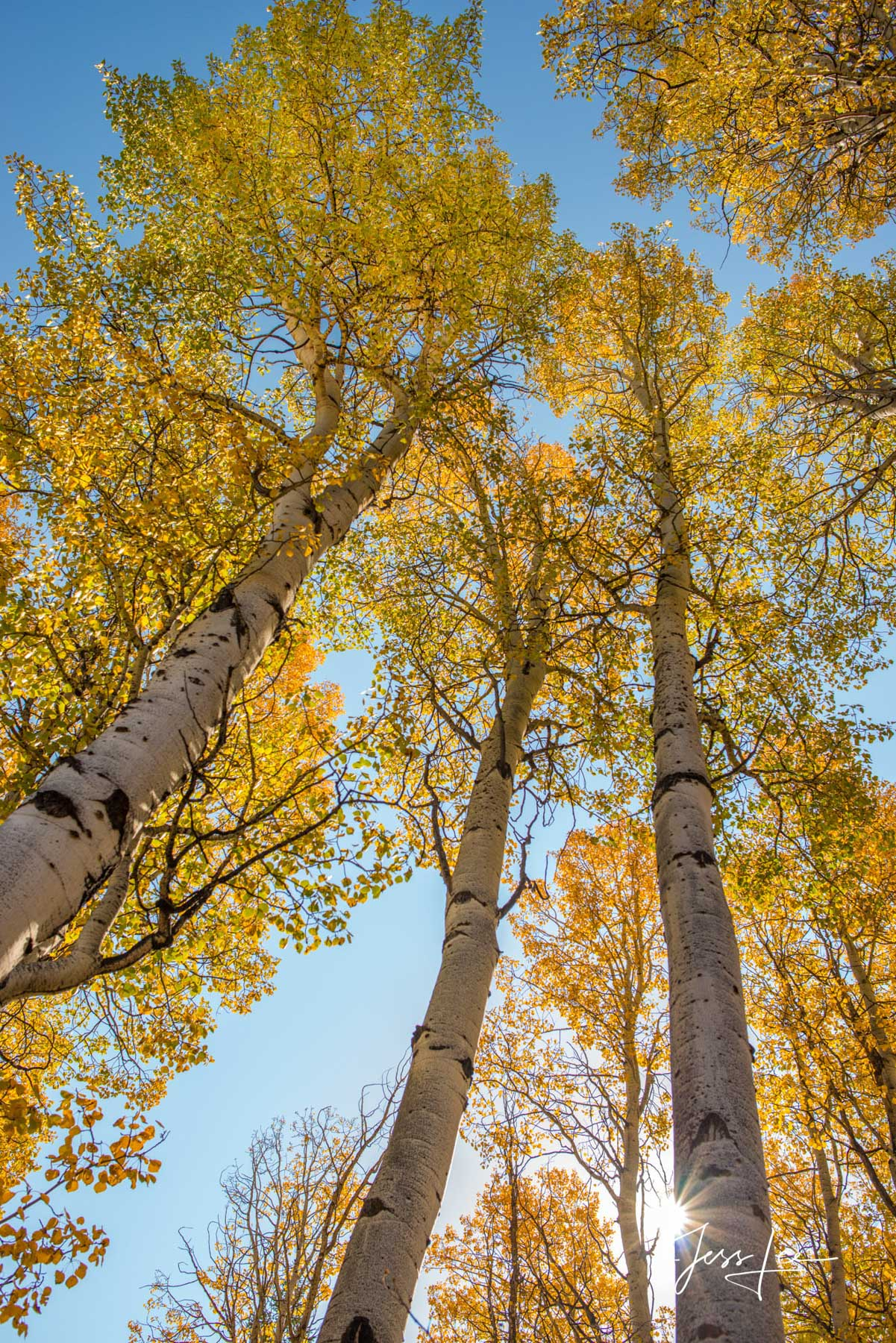 Limited Edition of 50 Exclusive high-resolution Museum Quality Fine Art Prints of Aspen Trees  Vertical Landscapes. Photos copyright...