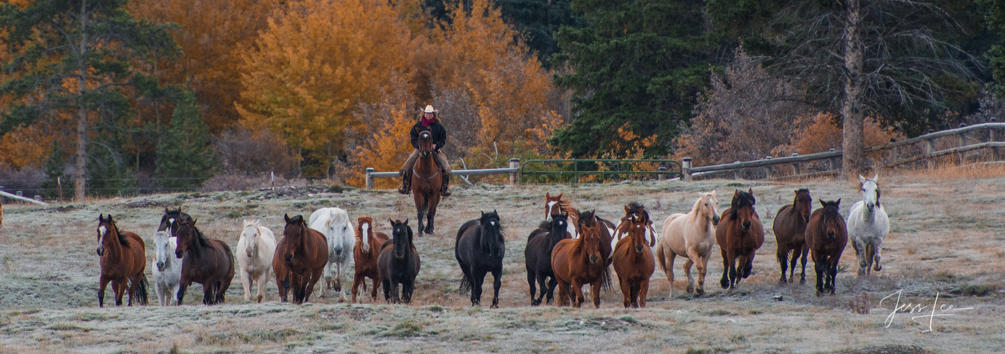 Cowgirl rounding up horses for autumn work. Fine Art, Limited Edition, Cowboy, and Western exclusive high-resolution Museum Quality...