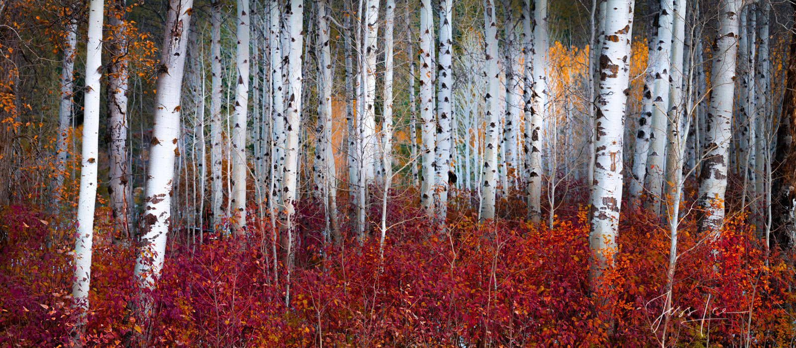 Red and Gold Birch Trees