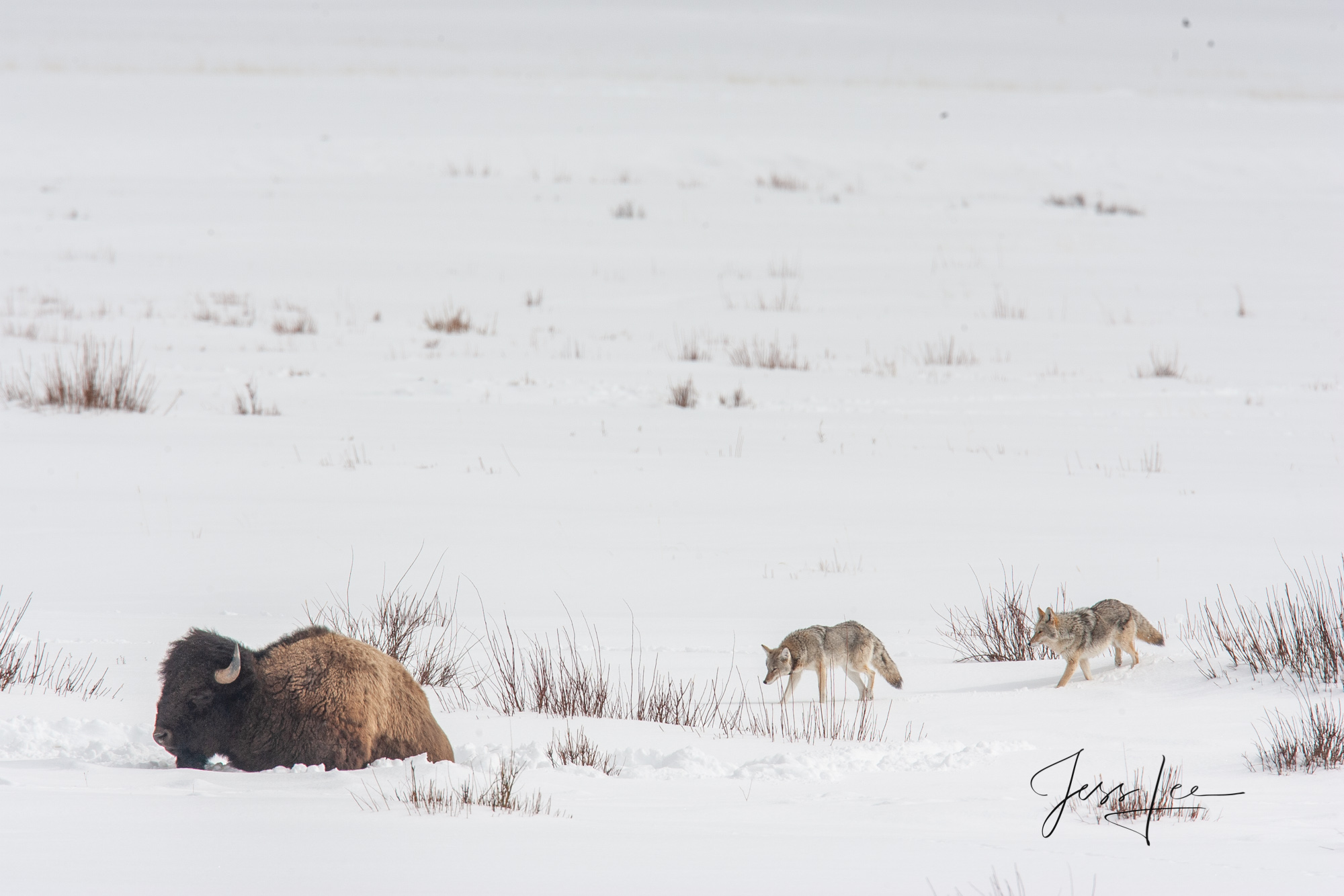 Bison and coyote in snow, yellowstone, winter , 07, snow, photo