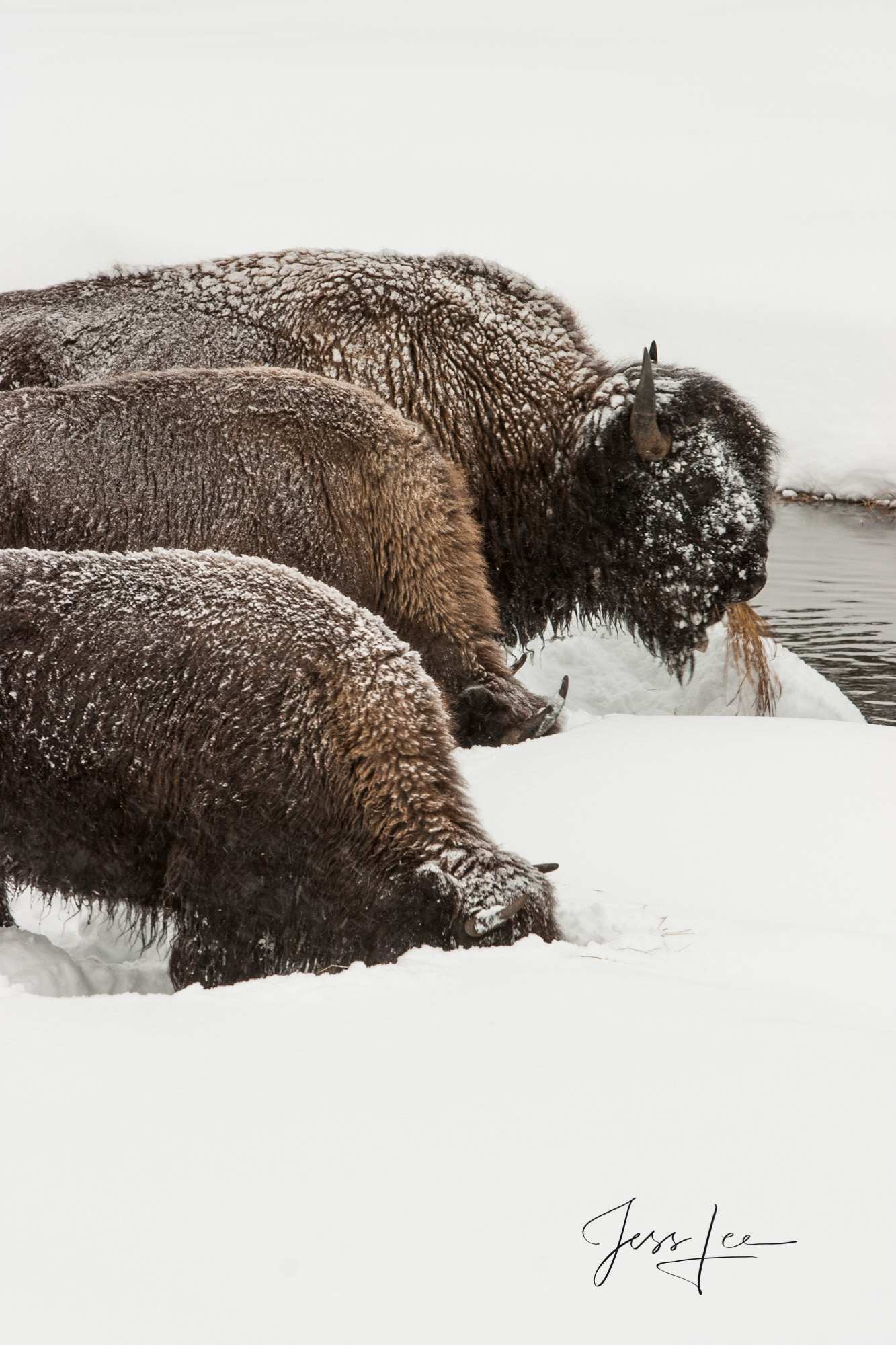 Bison Digging in snow, photo