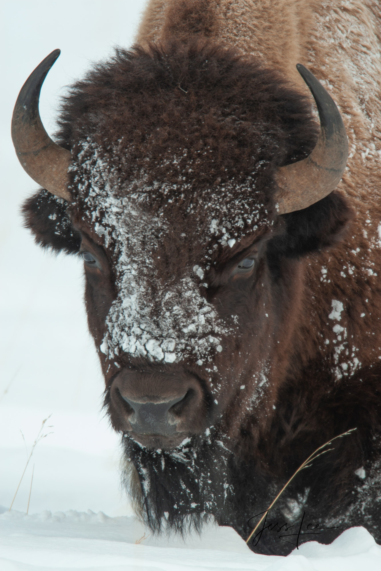 Bison,snow, yellowstone, winter , 07, snow, photo