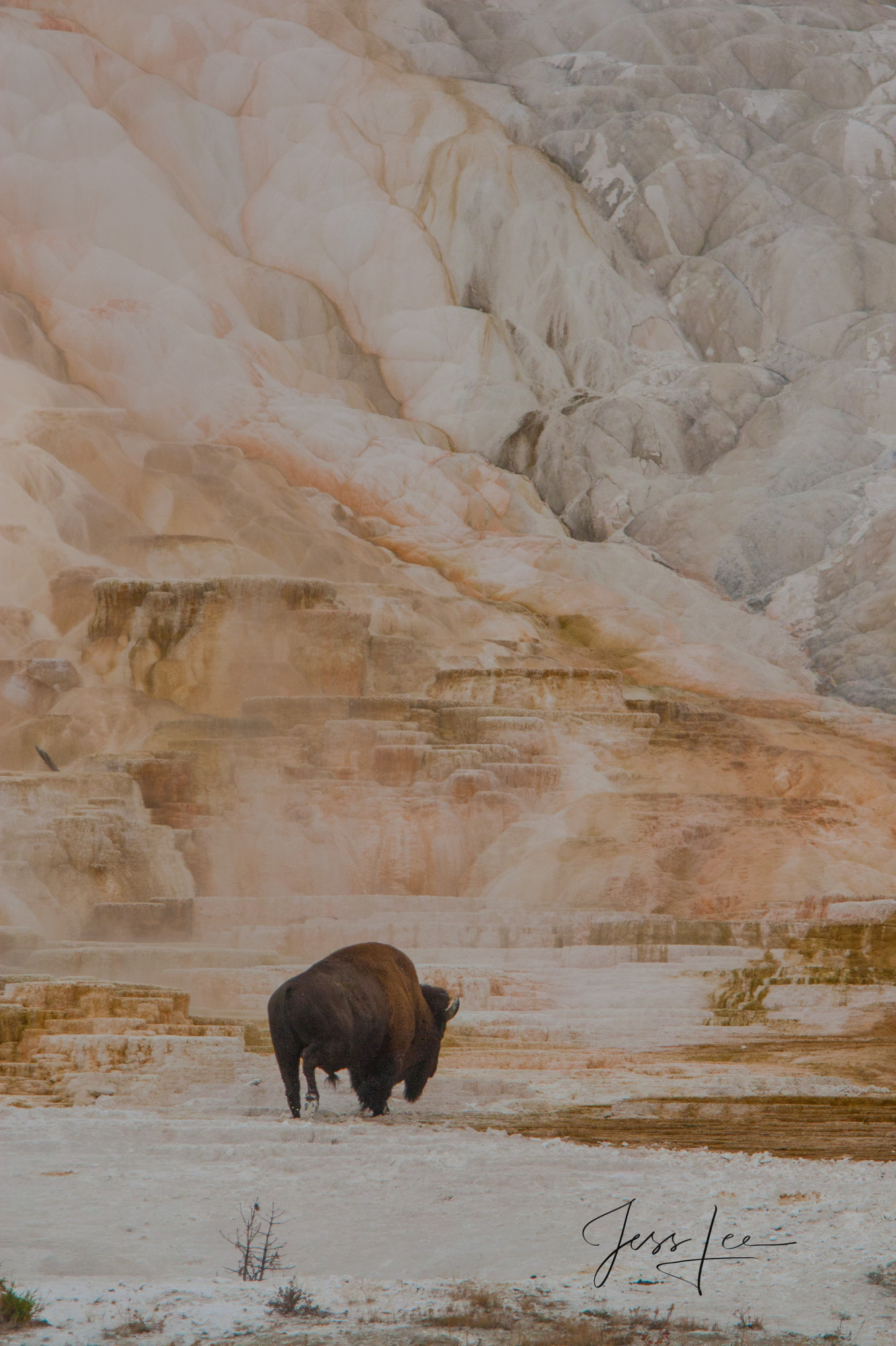 Bison at Mammoth Hot Springs, photo