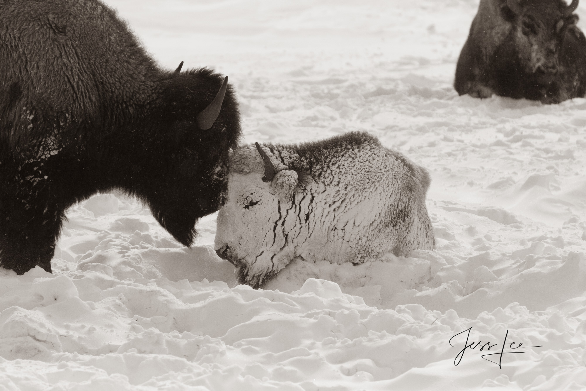 Snow covered Bison Calf in the cold of Yellowstone winter. Yellowstone Bison or American Buffalo.. A Limited Edition of 800 Prints...