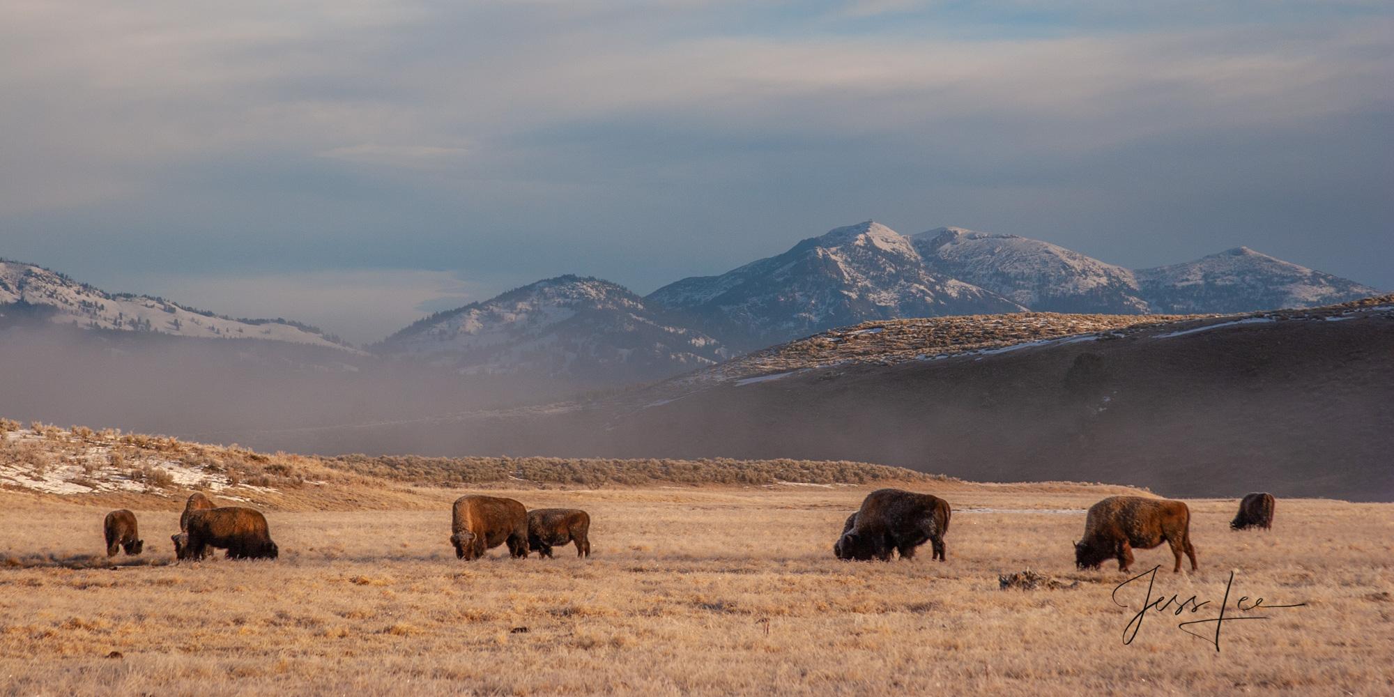 Bison in Lamar Valley, photo