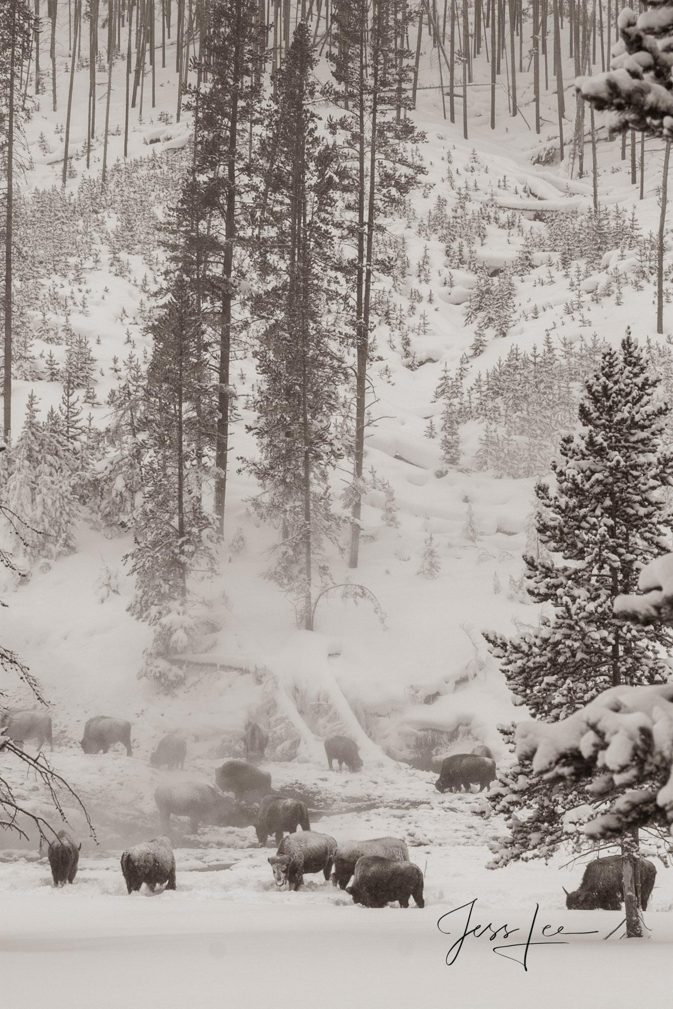 Bison herd at hot springs in winter, photo