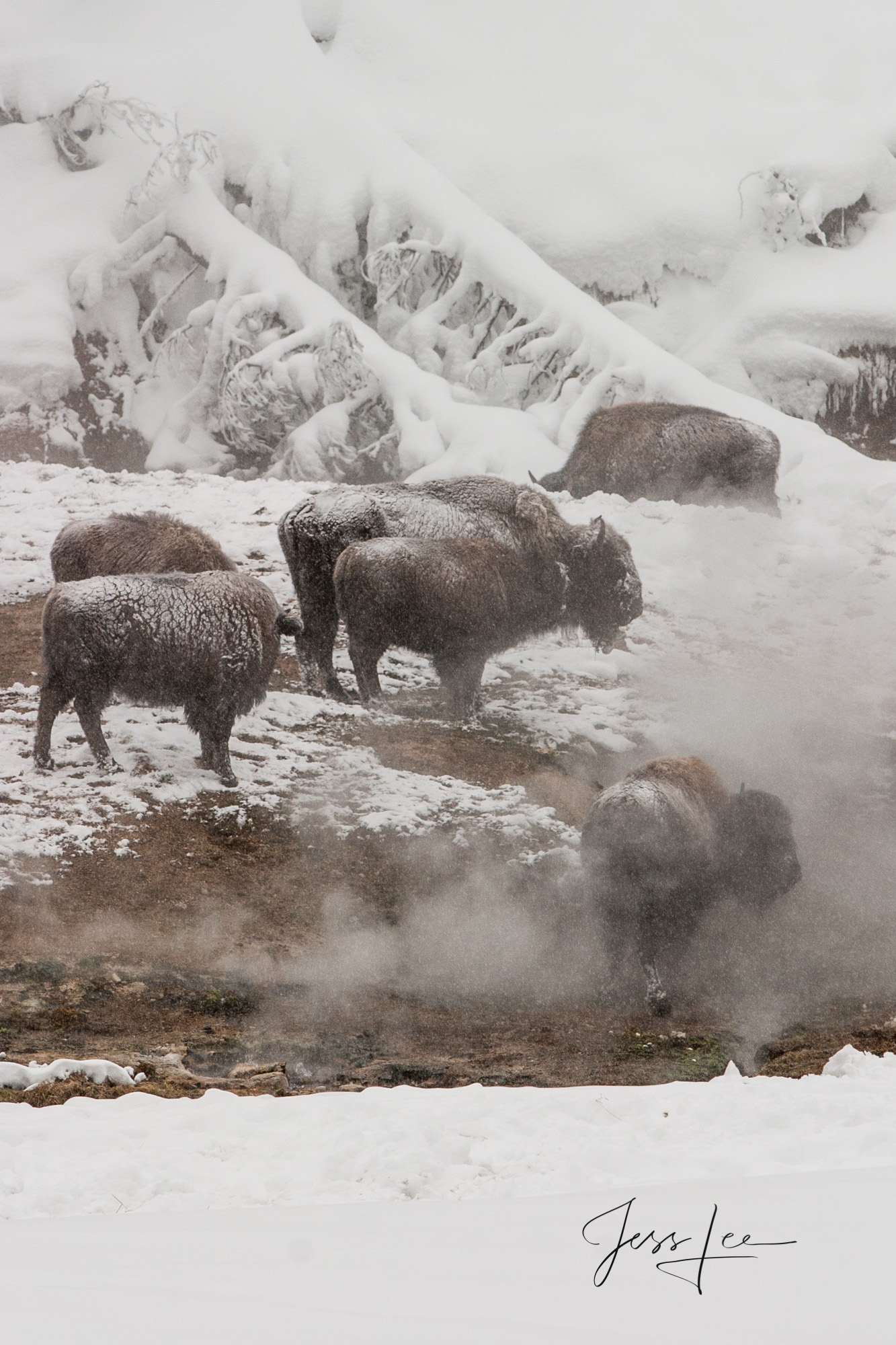 bison herd at hot springs, photo