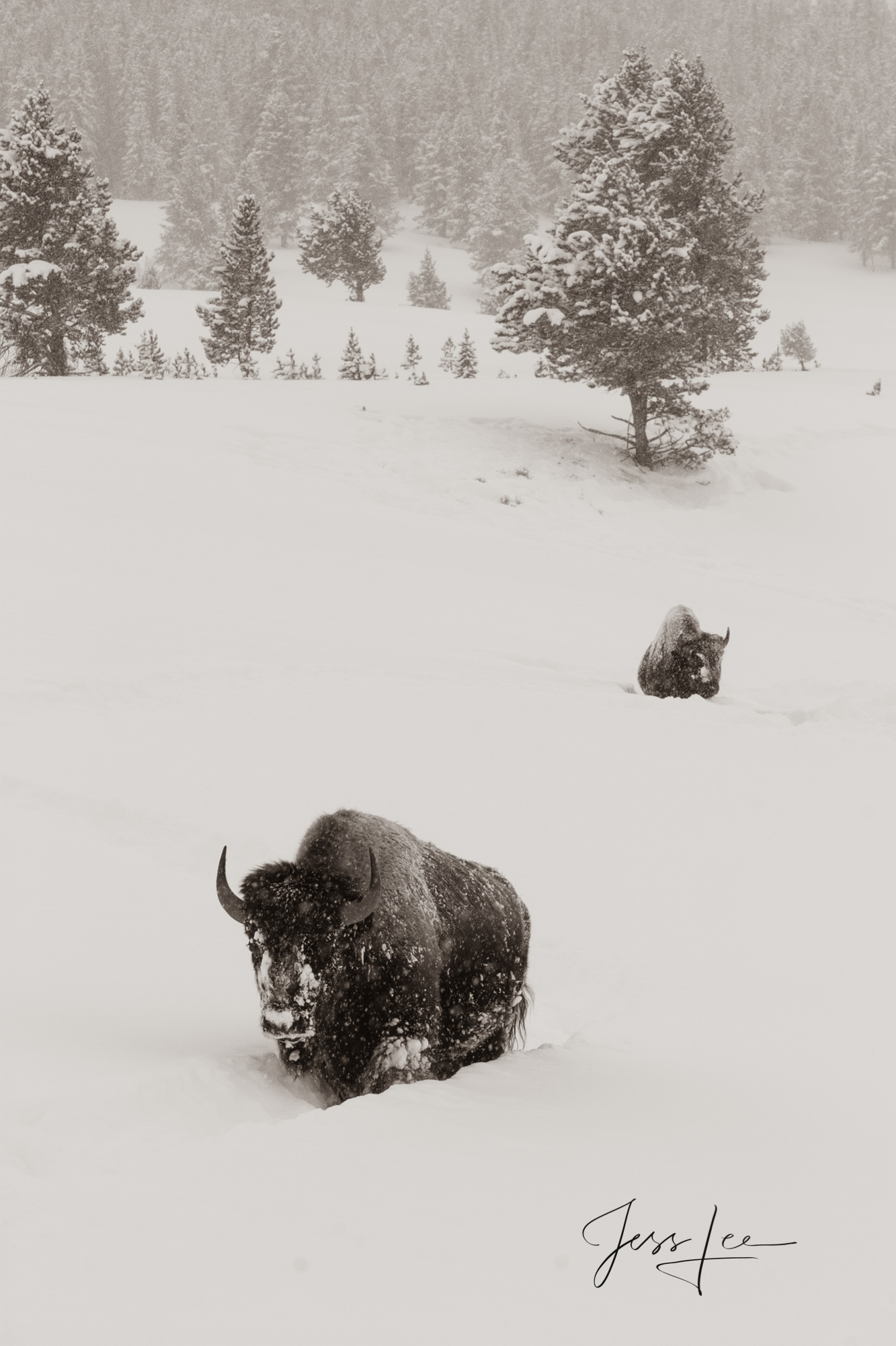 Yellowstone Bison or American Buffalo.. A Limited Edition of 800 Prints. These Bison fine art wildlife photographs are offered...