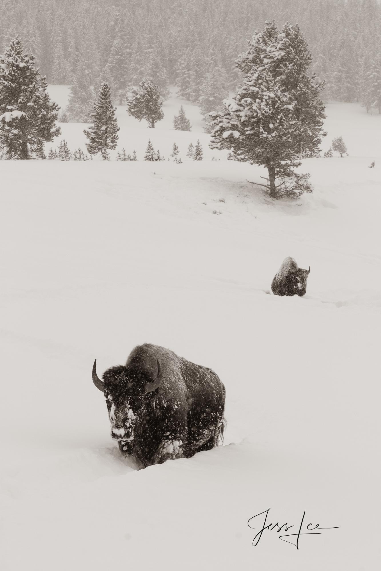 Bison walking in deep snow, photo