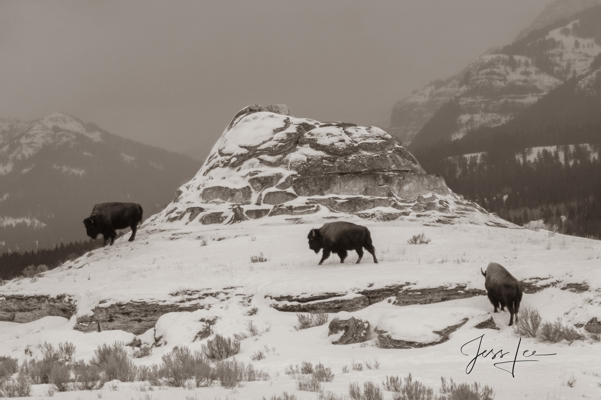 Yellowstone Bison or American Buffalo.. A Limited Edition of 800 Prints. These Soda Butte Bison fine art wildlife photographs...