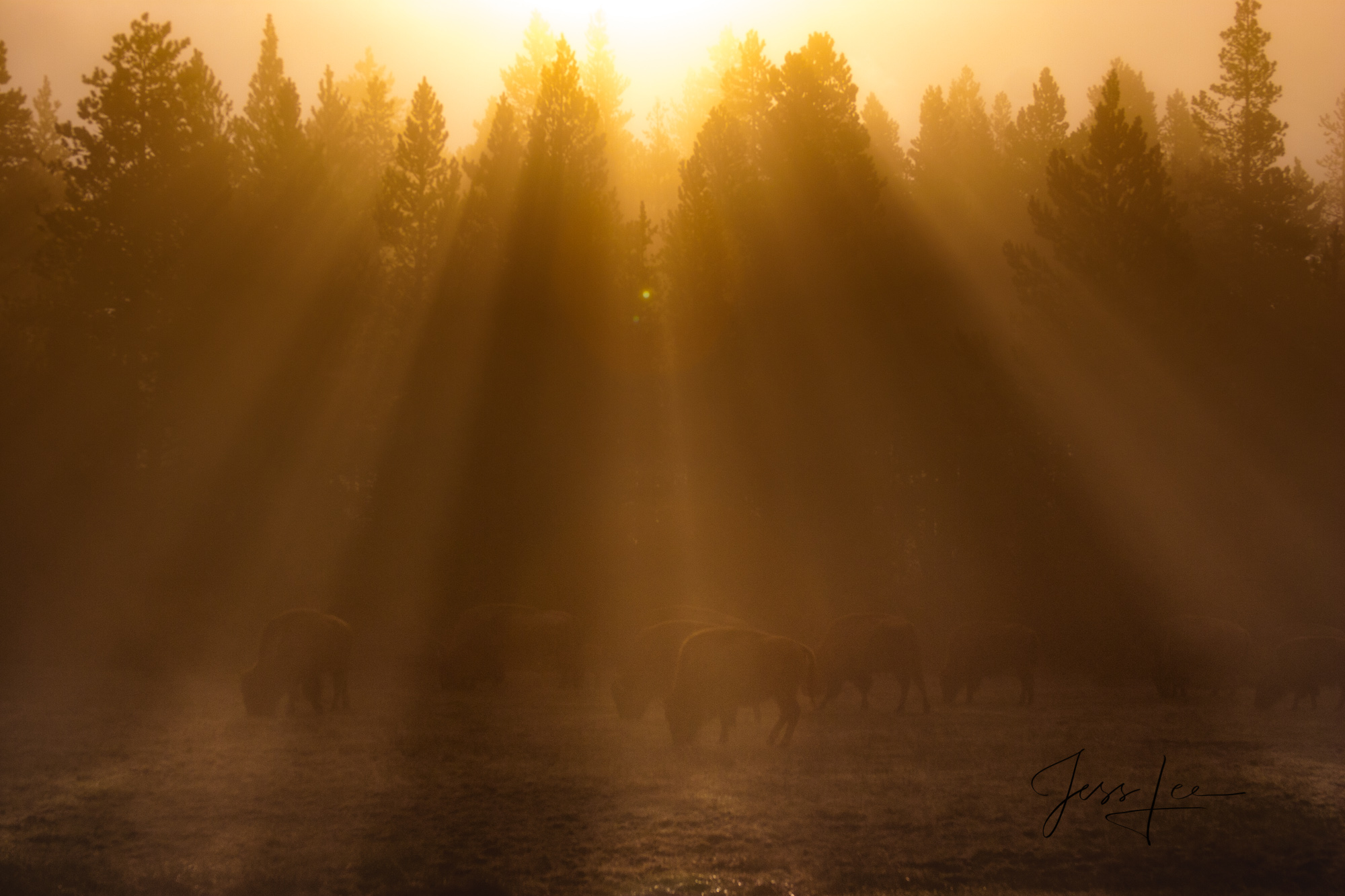 Yellowstone Bison or American Buffalo.. A Limited Edition of 800 Prints. These Sunbeam Bison fine art wildlife photographs are...